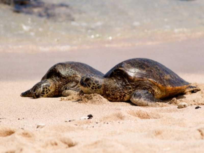 Schildkröte auf Pulau Serangan